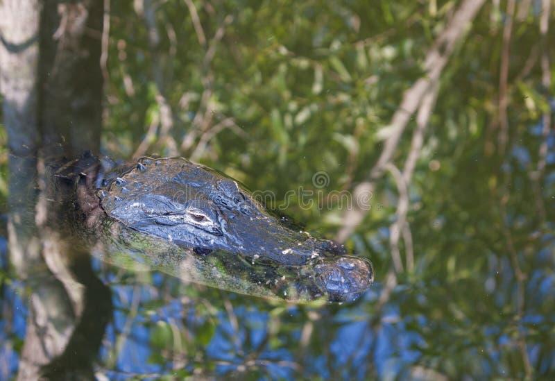 鳄鱼伪装 库存图片