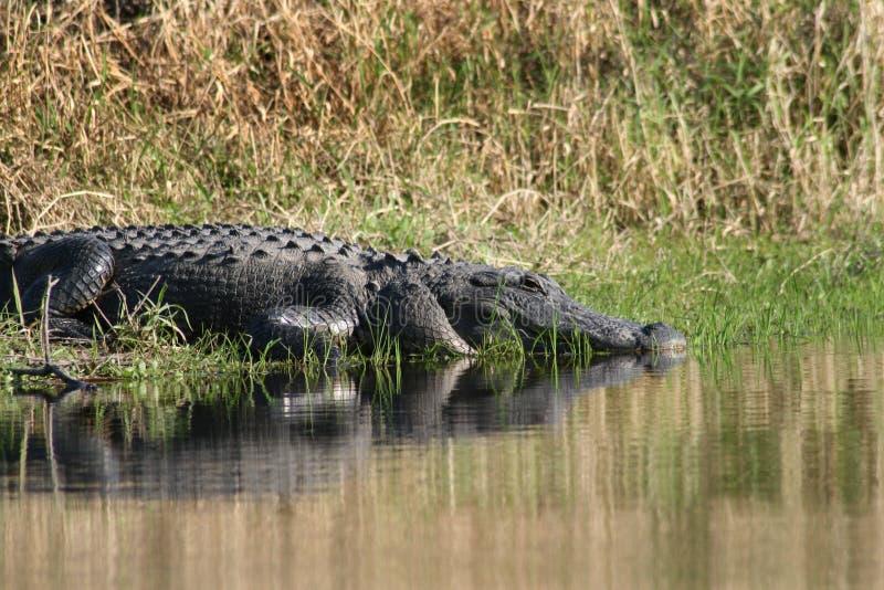 鳄鱼佛罗里达 库存照片