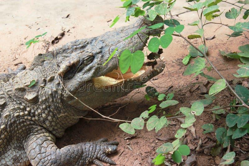 鳄鱼剧烈暗藏的叶子 库存照片