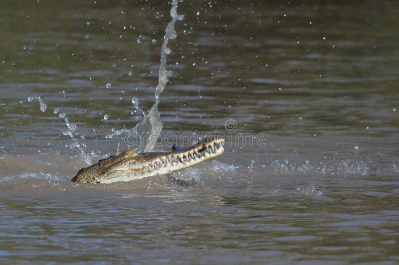 鳄鱼吃 免版税库存照片