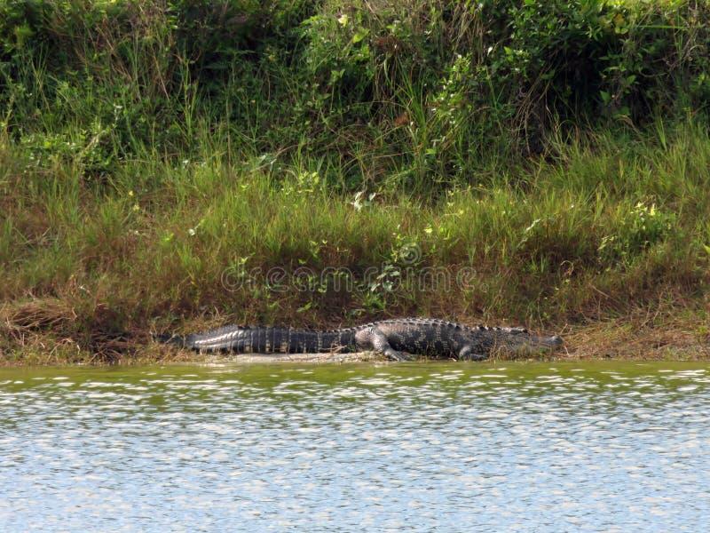 鳄鱼在丁亲爱的全国野生生物保护区 库存图片
