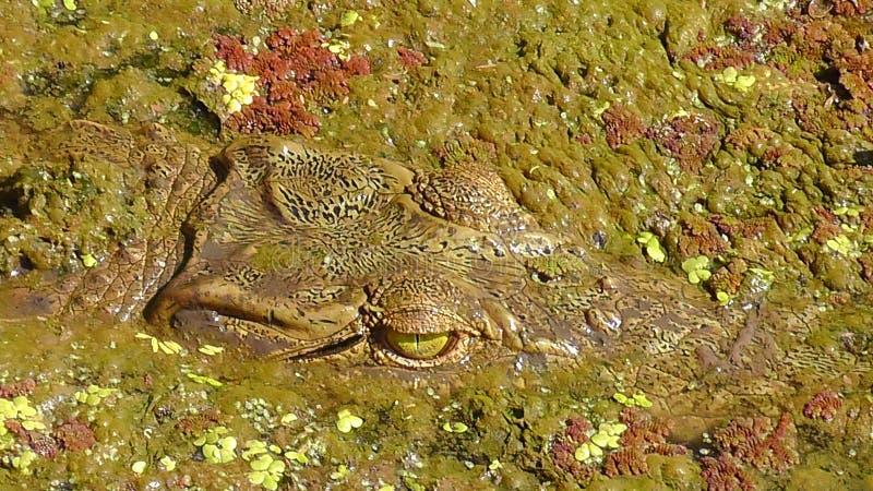 鳄鱼在徒步旅行队的水中 免版税库存图片