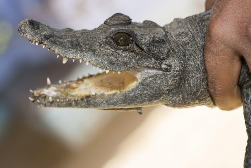 鳄鱼在手中 免版税库存照片