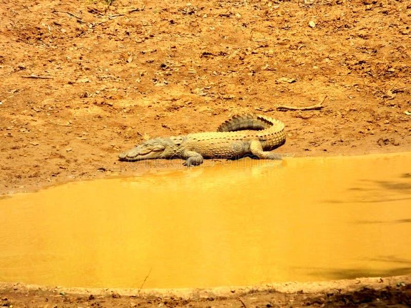 鳄鱼在斯里兰卡 库存图片