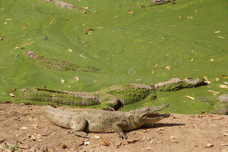 鳄鱼在泥沼 库存图片
