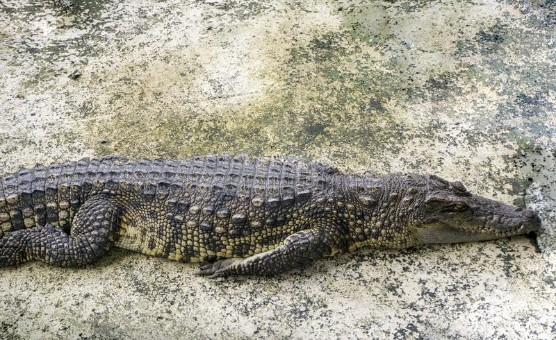鳄鱼在混凝土说谎 图库摄影