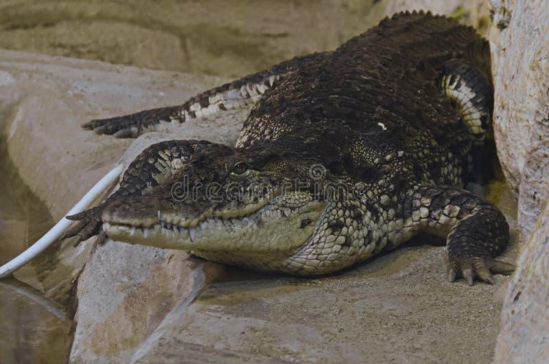 鳄鱼在笼子镇静地斜倚并且看 免版税库存图片