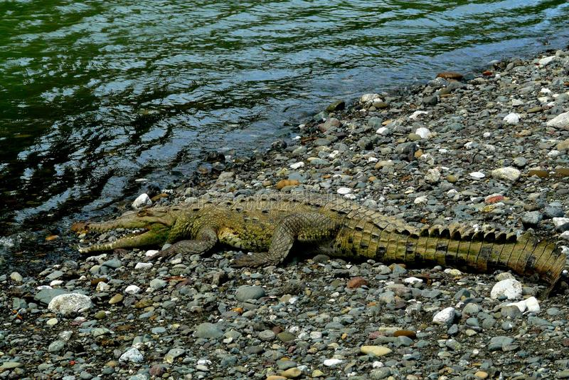 鳄鱼在Corcovado国家公园,哥斯达黎加 库存图片