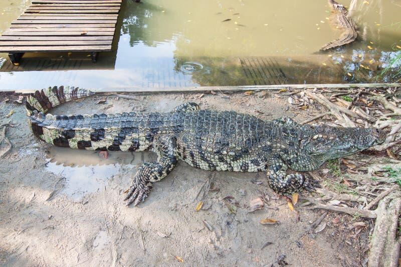鳄鱼在Sampran鳄鱼农场 免版税库存图片