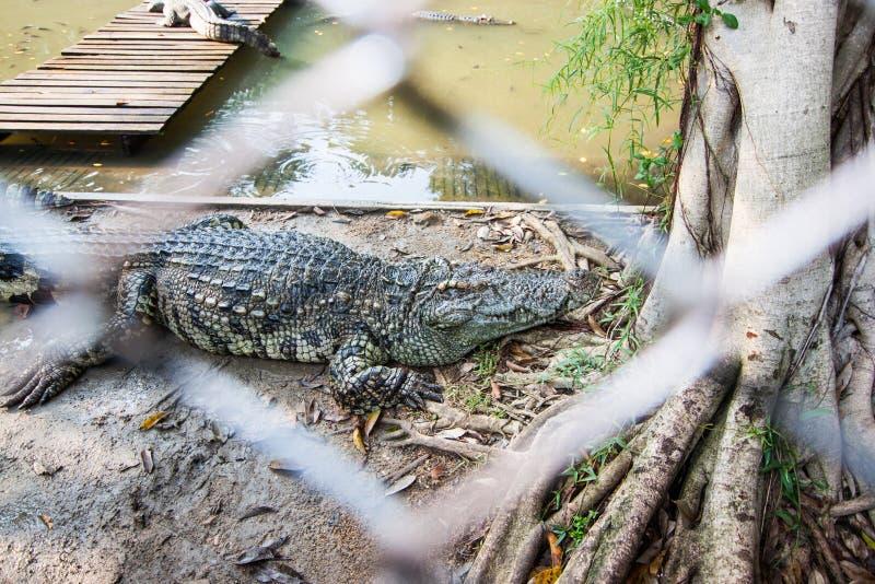 鳄鱼在Sampran鳄鱼农场 库存图片