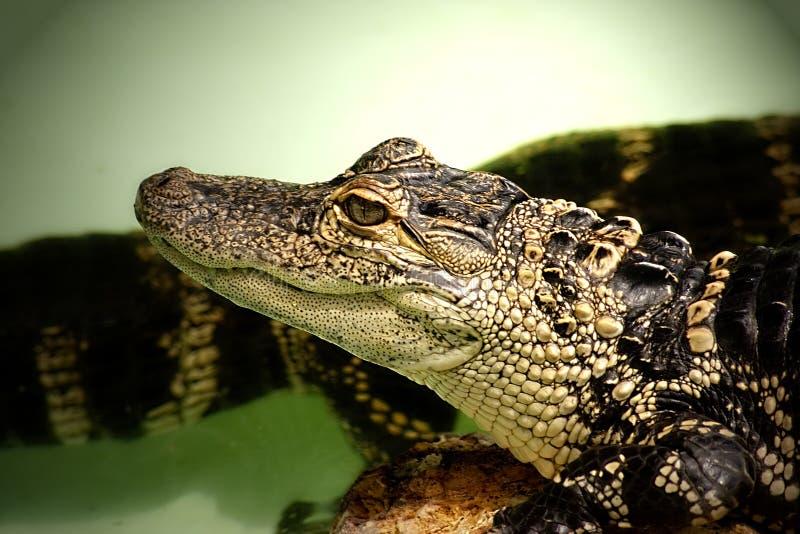 鳄鱼婴孩 免版税库存图片