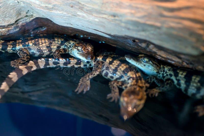 鳄鱼婴孩orCrocodylus说谎在木材的Porosus 免版税图库摄影