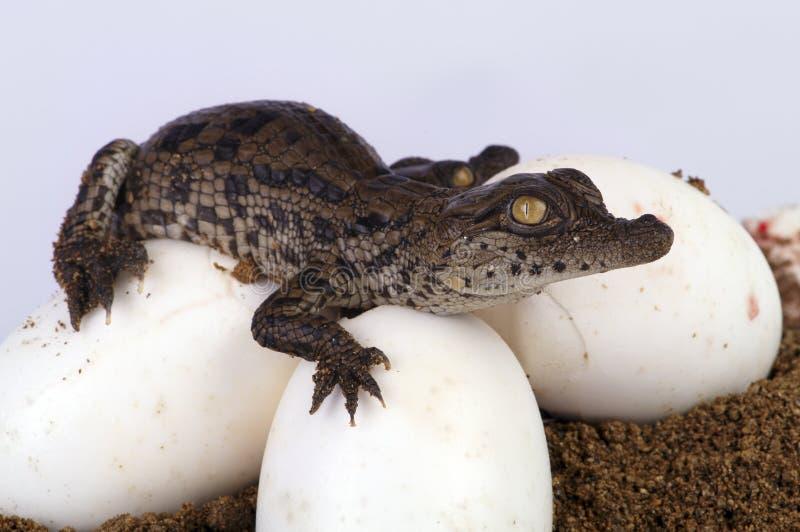鳄鱼孵化 免版税库存照片