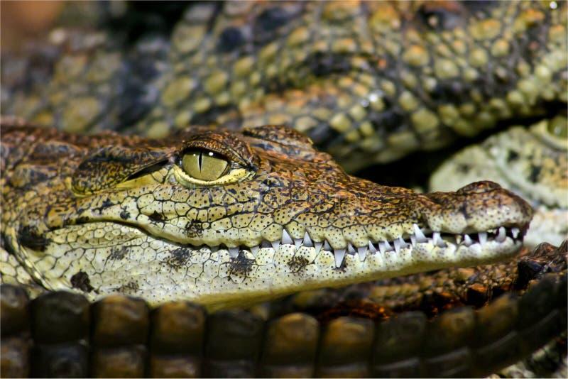 鳄鱼尼罗年轻人 免版税库存照片