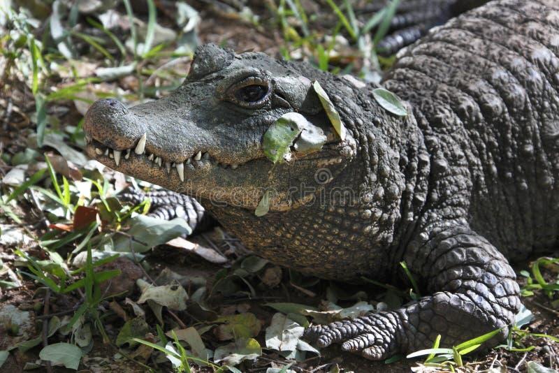 鳄鱼尼罗津巴布韦 免版税库存图片