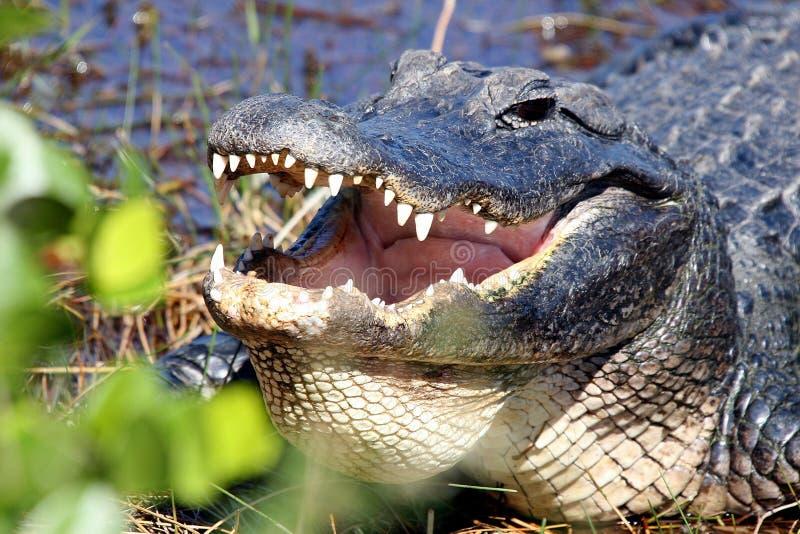 鳄鱼接近的题头 库存图片