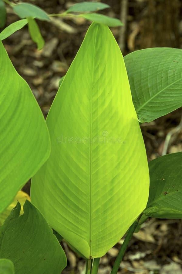 鳄鱼旗子叶子在佛罗里达沼泽地 免版税库存照片
