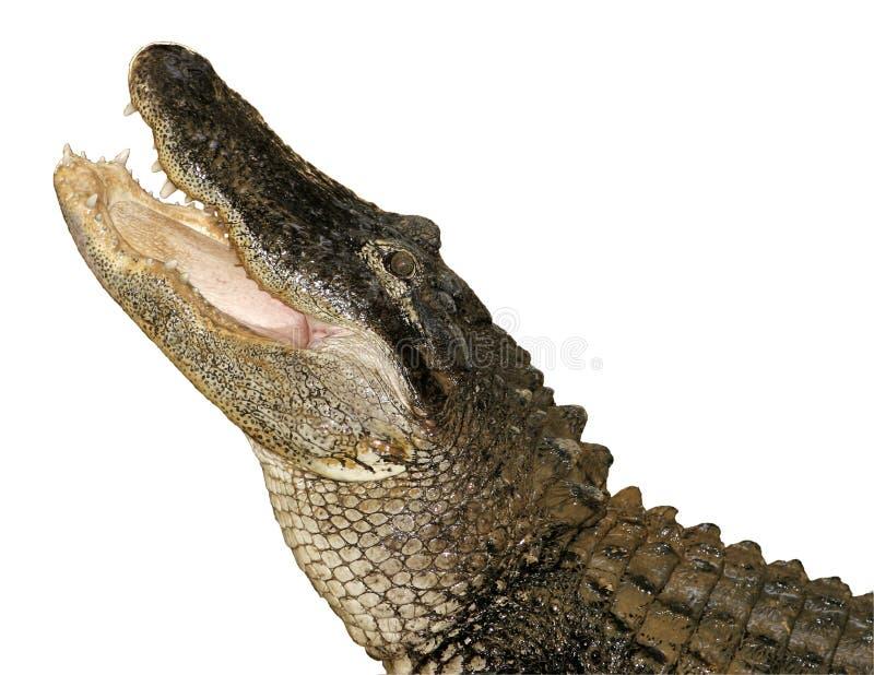 鳄鱼查出的攫取 免版税库存图片
