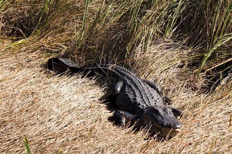 鳄鱼沼泽地 库存照片