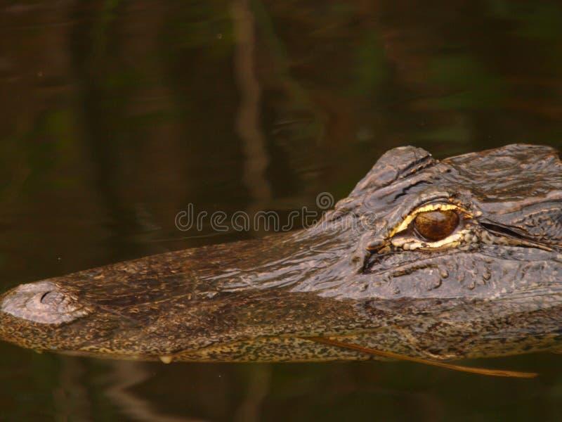 鳄鱼游泳 免版税库存图片