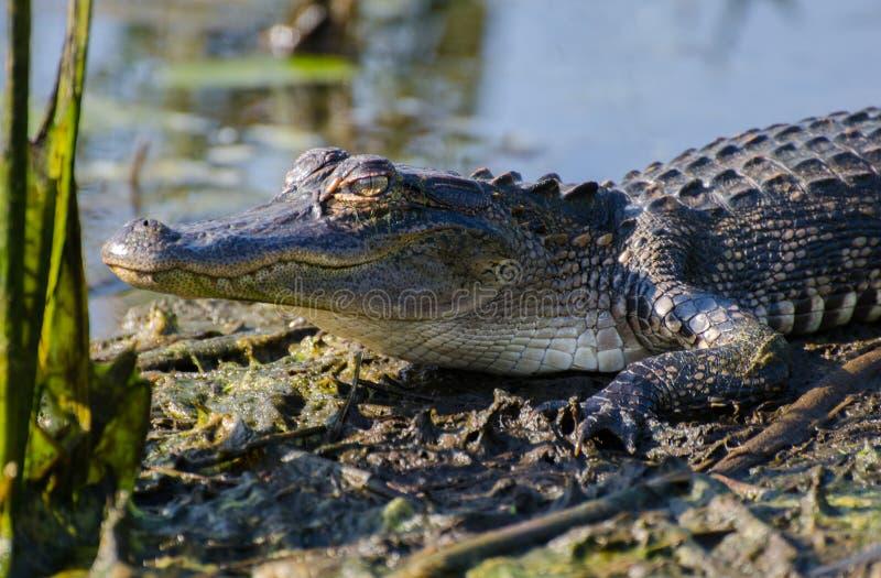 鳄鱼牙特写镜头,大草原全国野生生物保护区 库存照片