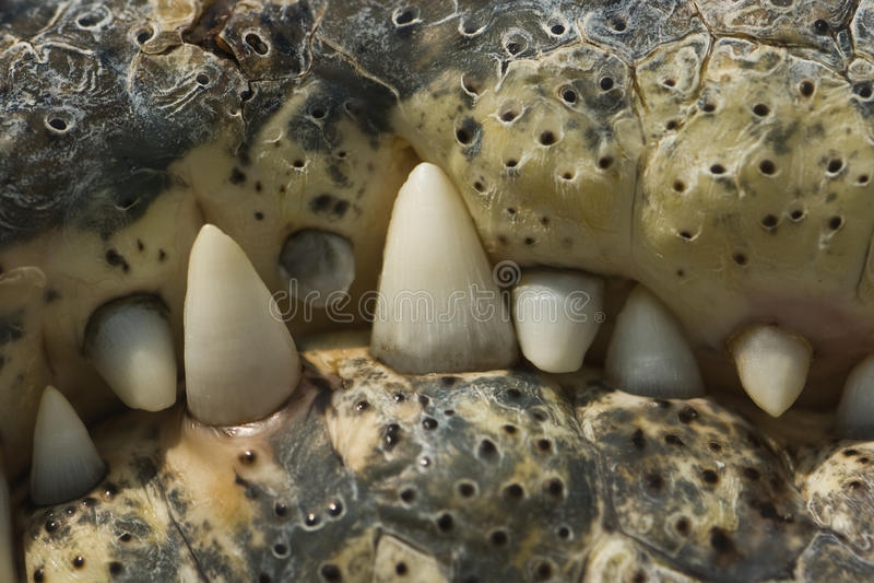 鳄鱼牙 免版税库存图片