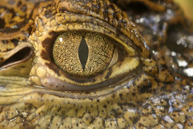 鳄鱼眼睛 库存图片