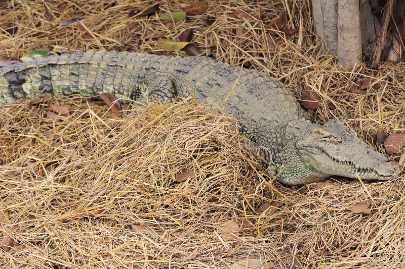 鳄鱼睡觉 免版税库存图片