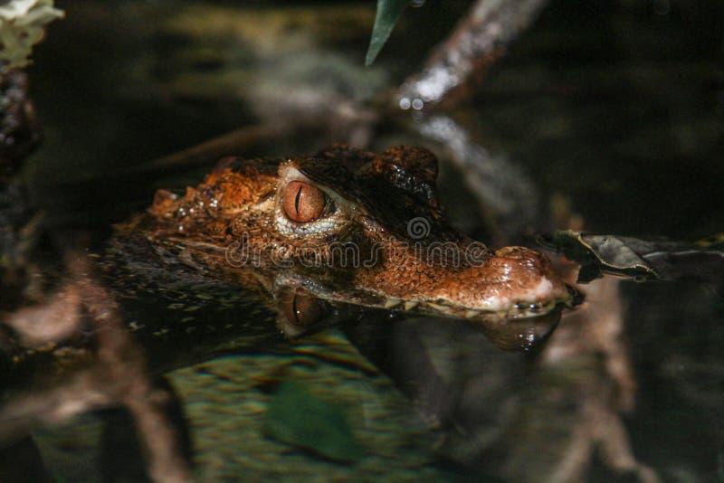 鳄鱼等待他的牺牲者 库存图片