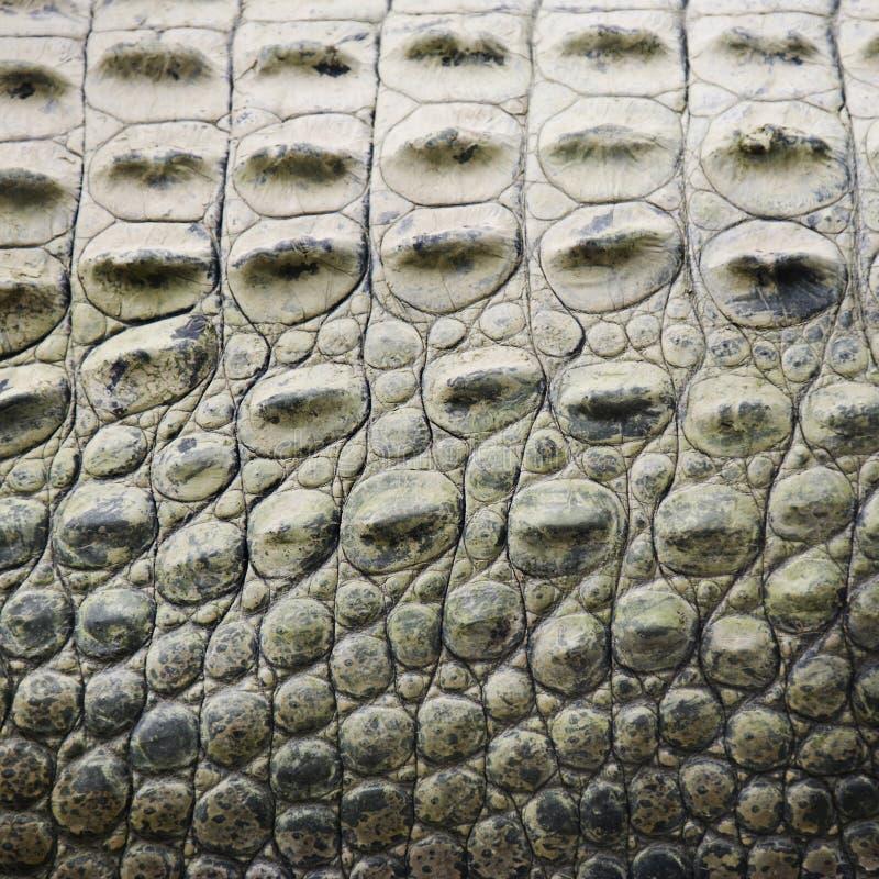 鳄鱼缩放比例 免版税库存图片