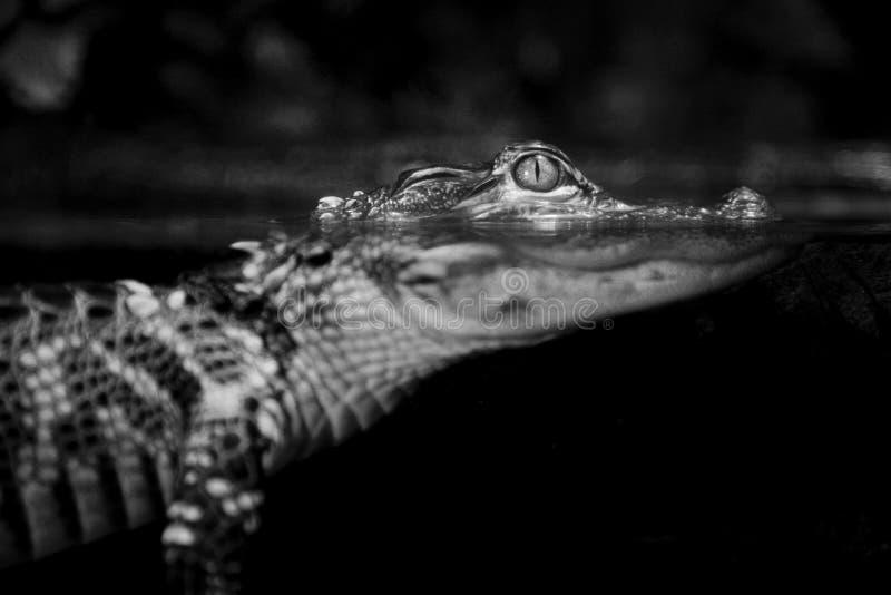 鳄鱼美国青少年 库存图片