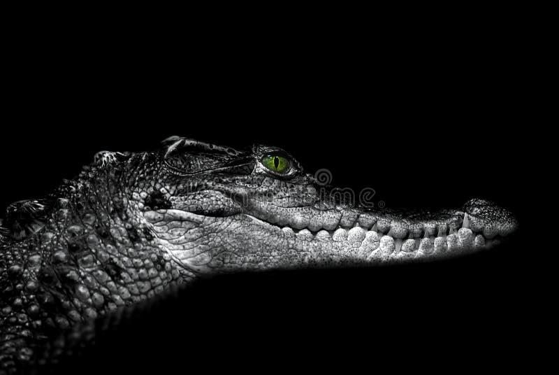 鳄鱼:在黑色的画象 免版税库存图片