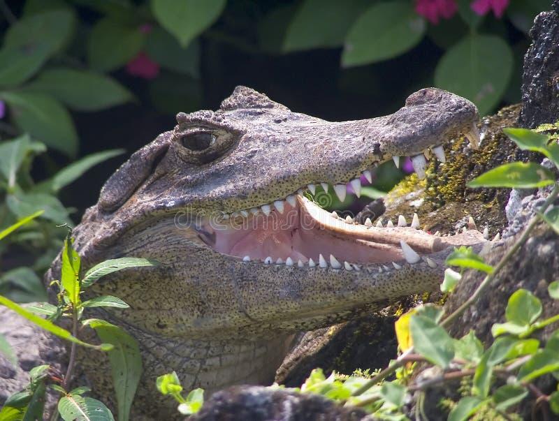 Download 鳄鱼 库存图片. 图片 包括有 开放, 爬行动物, 亚马逊, 题头, 肉食, 鳄鱼 - 189779