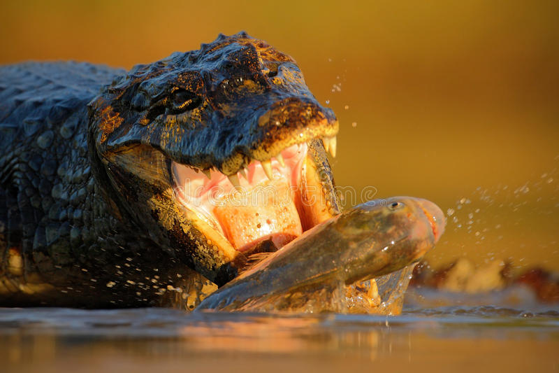 鳄鱼Yacare凯门鳄,与鱼与晚上太阳,动物在自然栖所,行动哺养的场面,潘塔纳尔湿地,巴西 库存图片