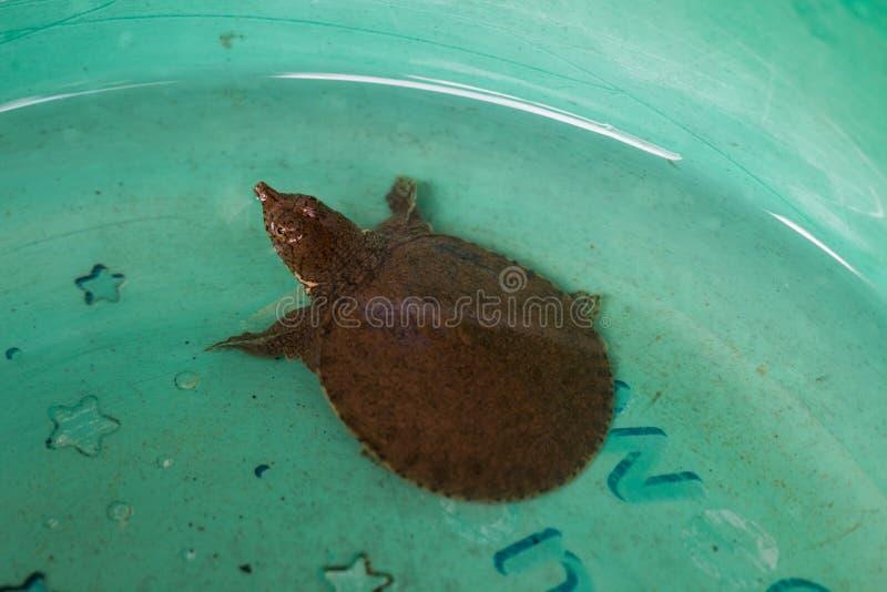 Download 鳄龟 库存图片. 图片 包括有 乌龟, 臂章, 攫取, 宠物, 敌意, 本质, 少许, 眼睛, 截肢术, 可爱 - 72363577