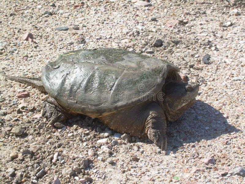 鳄龟 免版税图库摄影