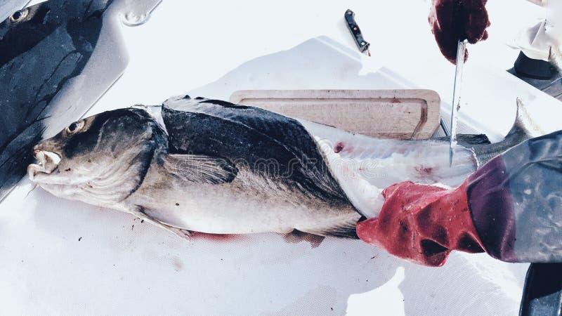 鳕鱼捕捞在特罗姆瑟,挪威 库存图片