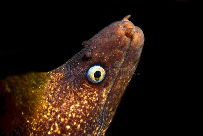 鳗鱼海鳗 免版税库存照片