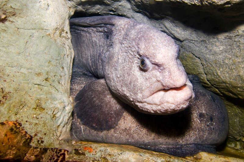 鳗鱼狼 免版税库存图片
