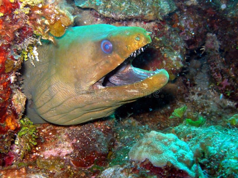 鳗鱼绿色海鳗 免版税库存照片