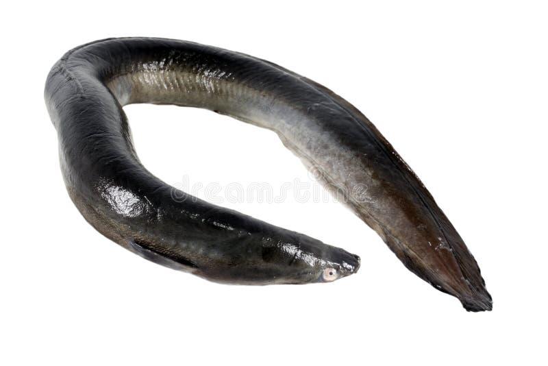黑鳗鱼 库存图片