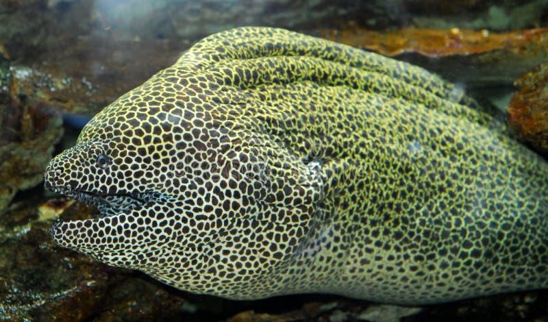 鳗鱼muraena 库存图片