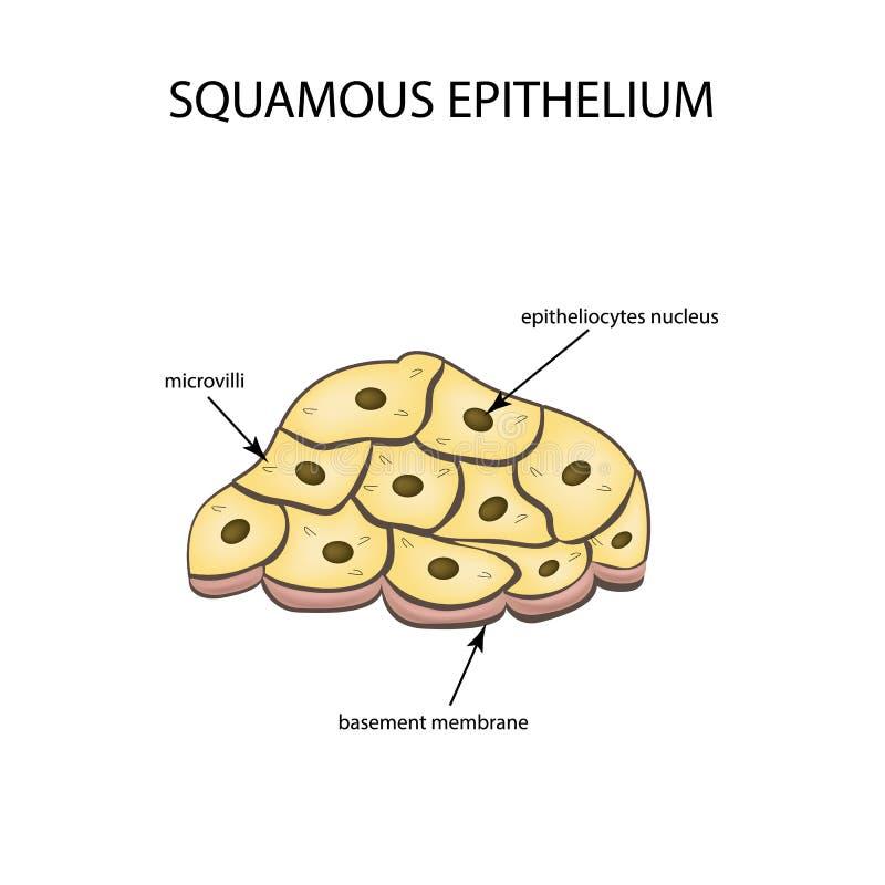 鳞状皮膜的结构 Infographics 在背景的传染媒介例证 皇族释放例证