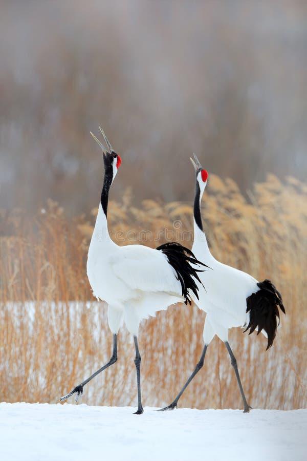 鸟二 跳舞对有在飞行中开放翼的红被加冠的起重机,与雪风暴,北海道,日本 在飞行,冬天场面的鸟 免版税库存照片