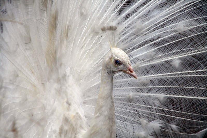 Download 鸟亲切的孔雀少见白色 库存图片. 图片 包括有 皇家, 空白, 孔雀, 国王, 抽象, 幻想, 自夸的, 照片 - 59103411