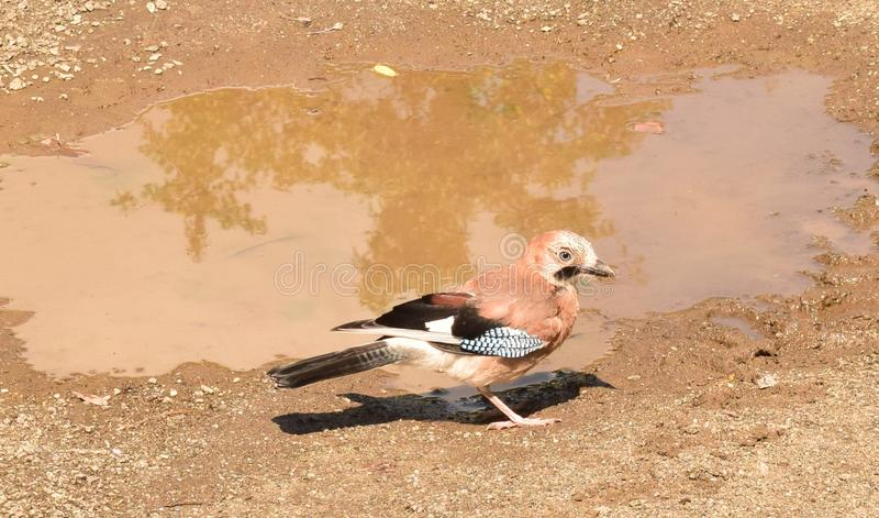 鸟决定喝一些水 库存照片