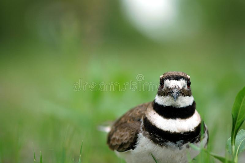 鸟双胸斑沙鸟 免版税库存图片
