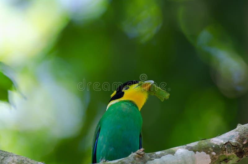 鸟名为长尾的Broadbill 免版税图库摄影