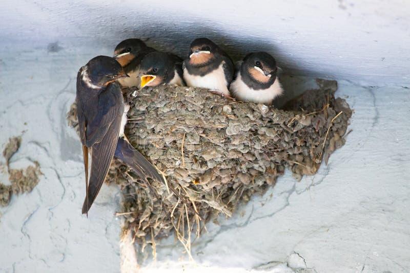 鸟和动物在野生生物 燕子喂养幼鸟 免版税库存图片