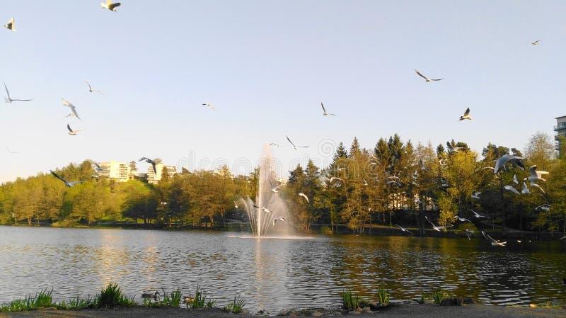 鸟和喷泉在湖Duvbo的, Sundbyberg,斯德哥尔摩,瑞典 免版税库存图片